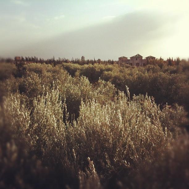 PP olive grove by Amanda Gilligan