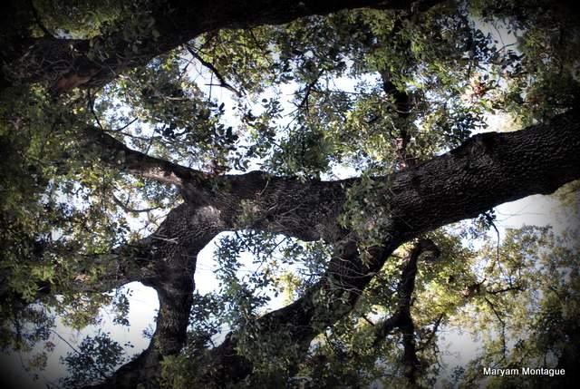Fez tree