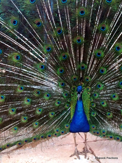 Maurice peacock at Peacock Pavilions