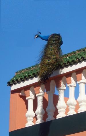 A_peacock_feb_25_2006_002_2