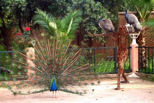 A_peacocks_april_26_2007_019