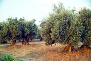 Olive_tree_1